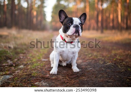French bulldog on the walk in forest