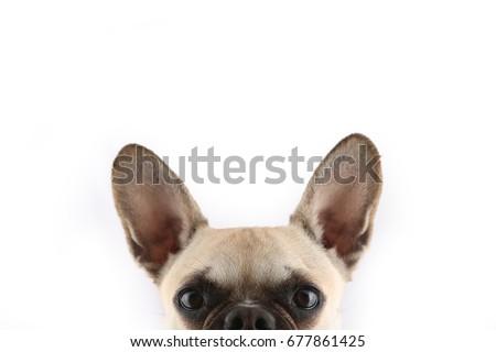 Stock Photo French Bulldog peek a boo