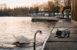 French bulldog playing with swan in park