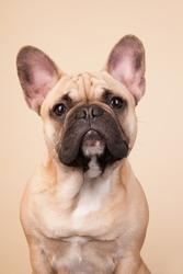 French bulldog portrait in studio on blue background