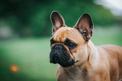 French bulldog posing outside in green background. Purebreed bulldog standing