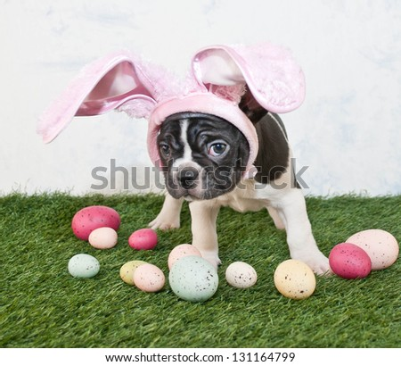 French Bulldog pretending to be the Easter Bunny.