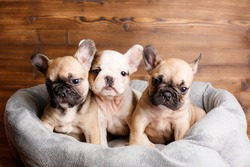French bulldog puppies are lying in a sunbed