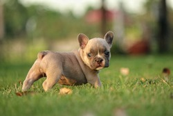 French bulldog puppies happy time