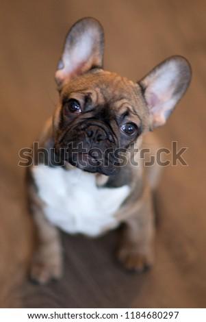 french bulldog puppy #1184680297
