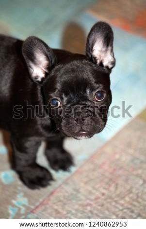 French Bulldog puppy  #1240862953