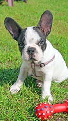 French bulldog puppy and dog toy