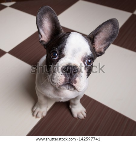 French bulldog puppy at home