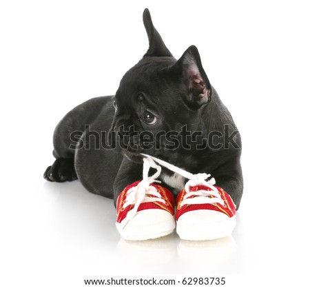 french bulldog puppy chewing on pair of red running shoes with reflection on white background