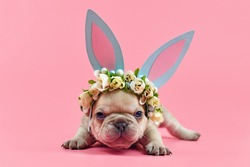 French Bulldog puppy dressed up as easter bunny with blue paper rabbit ears headband with flowers on pink background