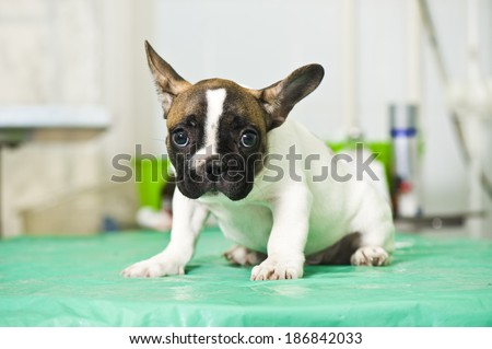 French bulldog puppy in animal hospital
