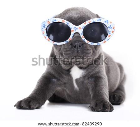 french  Bulldog puppy in sunglasses