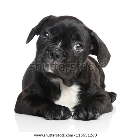 French bulldog puppy lying on a white background