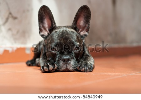 French Bulldog puppy lying on the ground that looks