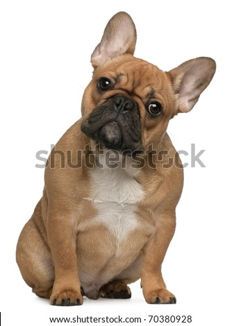 French Bulldog puppy, 5 months old, sitting in front of white background