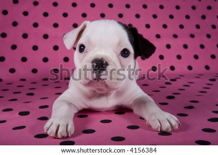 French bulldog puppy on pink background with polka dots