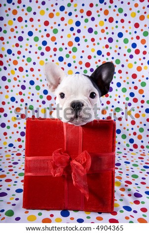 French bulldog puppy on rainbow colored background and with red birthday gift