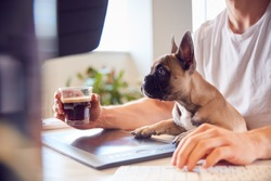 French Bulldog Puppy Sitting With Owner At Desk In Office Whilst He Works On Computer