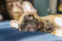 French BullDog puppy Sleep on the sofa. Selective focus
