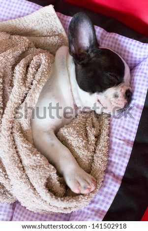 French bulldog puppy sleeping in bed