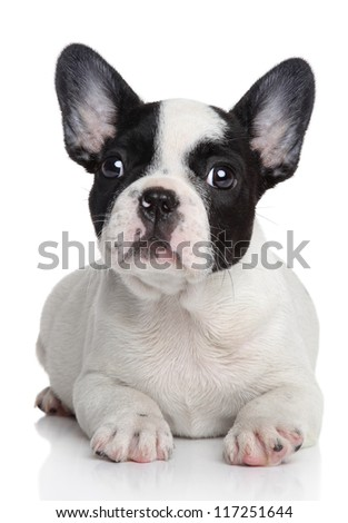 French bulldog puppy. Studio shot, on white background with reflection.