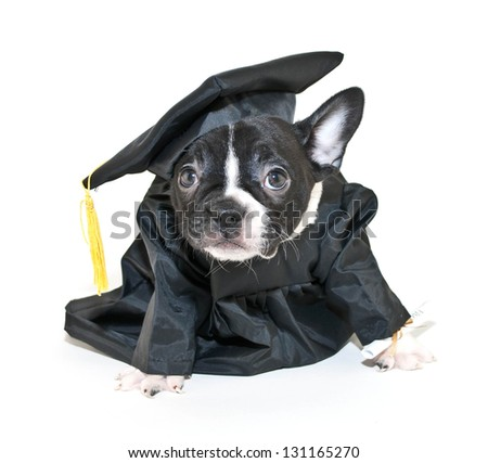 French Bulldog puppy that looks like he is happy school is over and is relieved he gets to graduate.