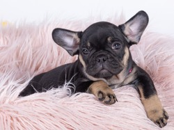 French bulldog puppy, very popular pet. This is a litter of eleven puppies
