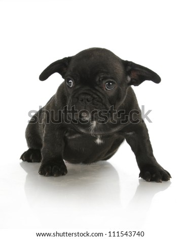 french bulldog puppy - 8 weeks old