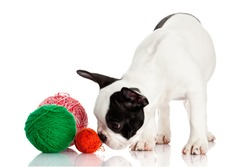 French Bulldog  puppy with a wool balls isolated on white background.