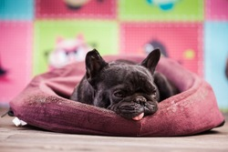 french bulldog relaxing in bed