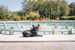 French bulldog resting in the park