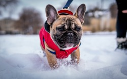 French bulldog running in snow wearing a red jacket