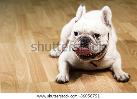 french bulldog showing the tongue indoor