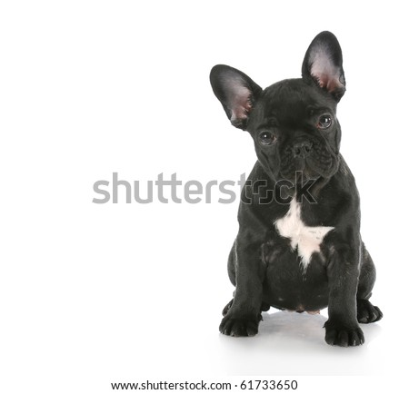french bulldog sitting looking at viewer with reflection on white background