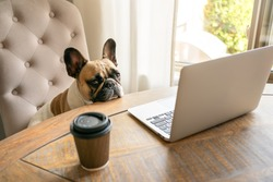 French bulldog sitting on a chair and looking tired at the camera during working on laptop staying on a table with coffee cup. The funny cute pet dog at home office. The business concept, boss.