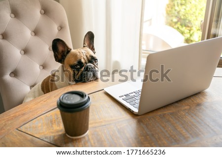 French bulldog sitting on a chair and looking tired at the camera during working on laptop staying on a table with coffee cup. The funny cute pet dog at home office. The business concept, boss. Stock photo ©