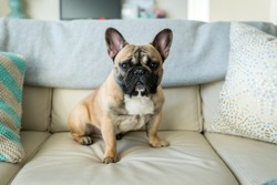 French bulldog sitting on couch - horizontal