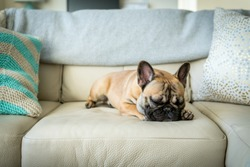French bulldog sleeping on couch