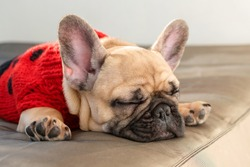 French bulldog sleeping on the couch. Lazy dog dressed in knitted sweater resting at home