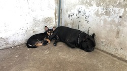French Bulldog sleeps on cement floor with Chihuahua dog lying nearby,dimly light.Couple of cute black dog,French Bulldog and Chihuahua dog spend their time together.Such coach such brother.