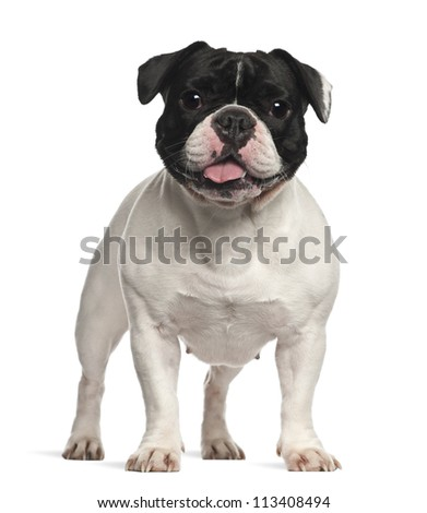 French Bulldog standing against white background