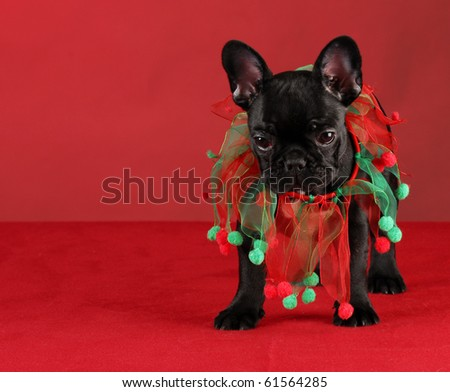french bulldog wearing christmas scarf standing on red background