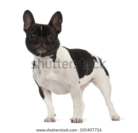 French Bulldog, 2 years old, portrait against white background