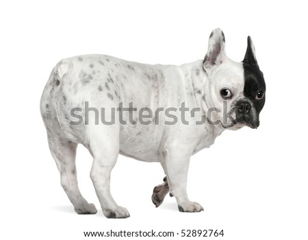 French bulldog, 8 years old, standing in front of white background