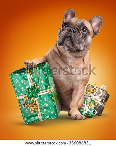 French bulldogs with christmas gifts isolated over orange background