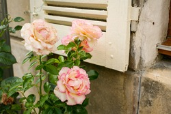 French Countryside Window with Rose bush