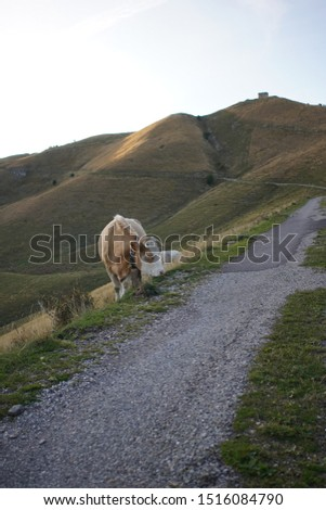 french cow in the alps at the end of the day #1516084790
