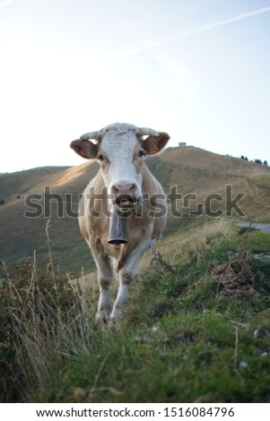 french cow in the alps at the end of the day #1516084796