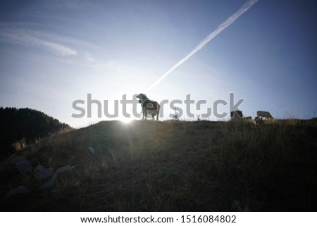 french cow in the alps at the end of the day #1516084802