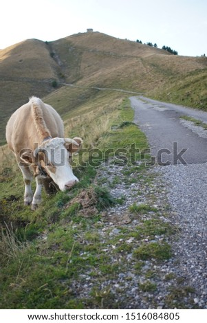french cow in the alps at the end of the day #1516084805